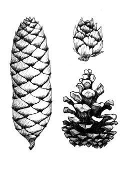 Pine cone illustration for Orbis Pictus