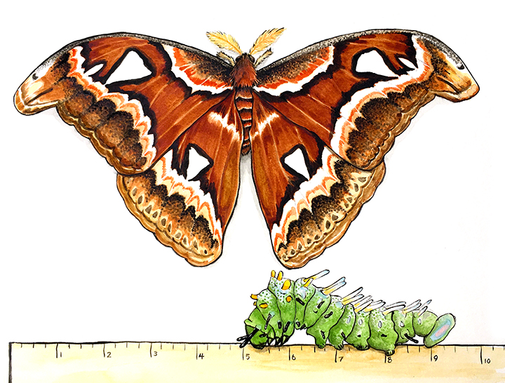 atlas moth and cat_sm