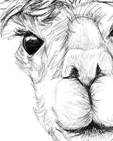 Alpaca WHCC