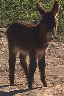 Haitian Donkey
