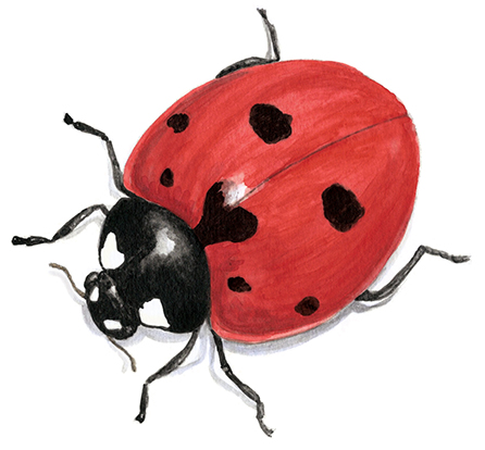Large, realistic watercolor lady bug on a white background.