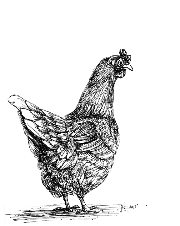 A black and white chicken drawn with pen and ink looks back over it's shoulder at you.
